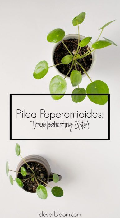 pilea peperomioides troubleshooting q a collections pinterest. Black Bedroom Furniture Sets. Home Design Ideas