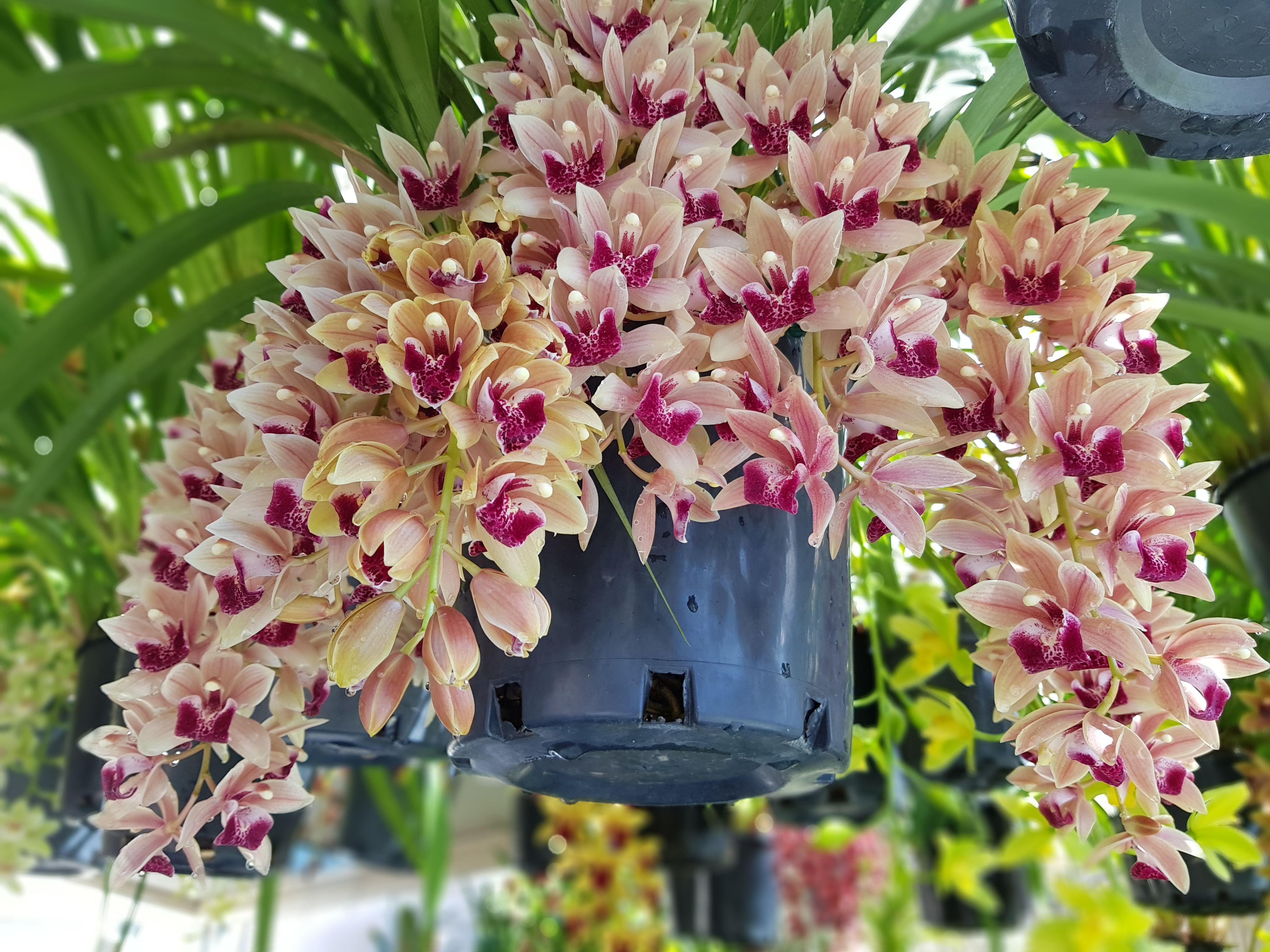 Pin by sineth sor on pharenus orchids garden pinterest orchids