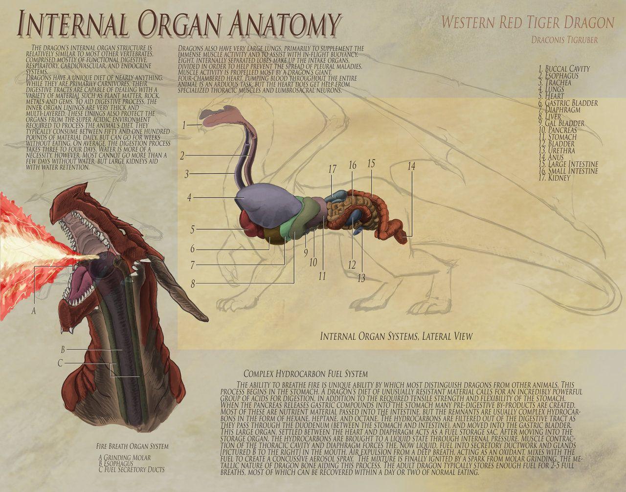 Dragon Anatomy - Organs by UberKudzu   bichxoS   Pinterest ...