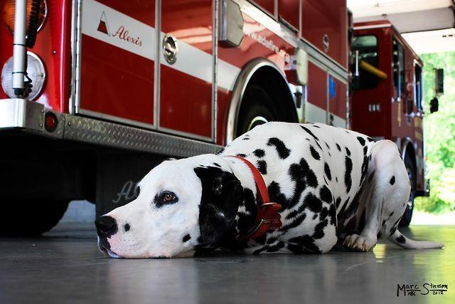 Firedog Taking A Well Deserved Break Dalmatian Puppy