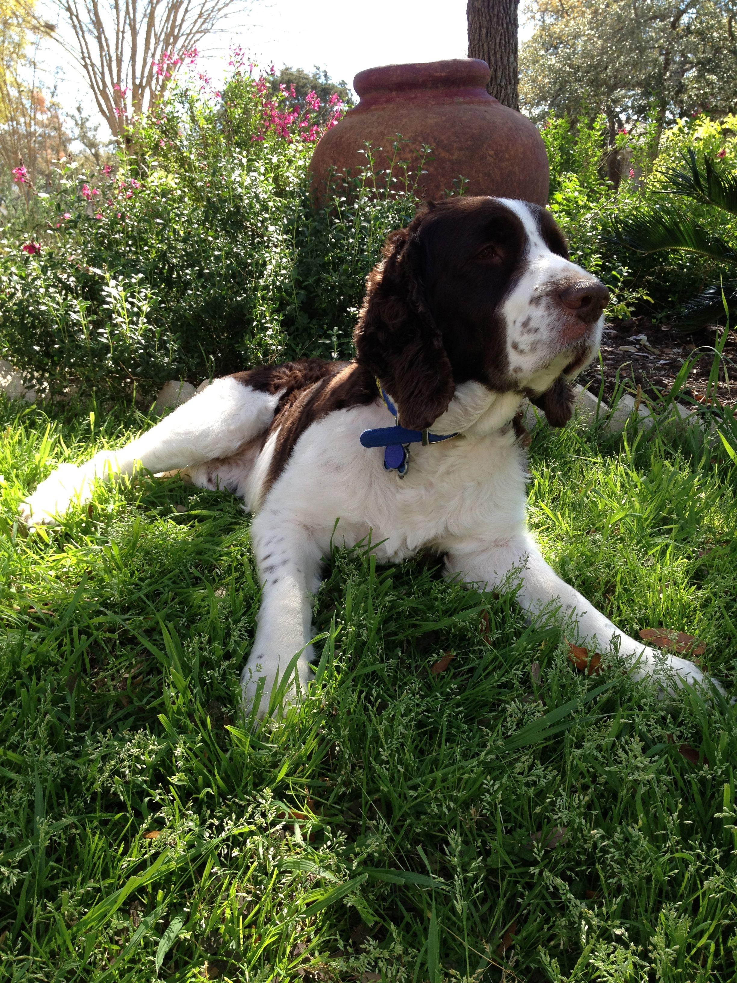 English Springer Spanel Rescue Bridges Best Dog Ever Http Www