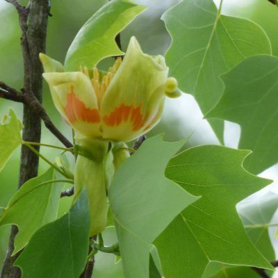 Propagation Of Tulip Trees Is Either Done With Tree Cuttings Or By Growing From Seeds Click
