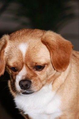 Pekehund Pekingese Dachshund Is An Interesting Dog Breed Unique