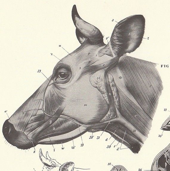 Vintage Cow and Bull Head View Illustration Book Page | Cows ...