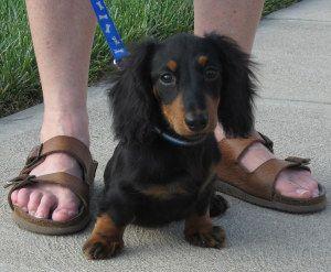 Chihuahua Long Haired Dachshund Mix Google Search Long Haired Dachshund Mini Long Haired Dachshund Mini Dachshund