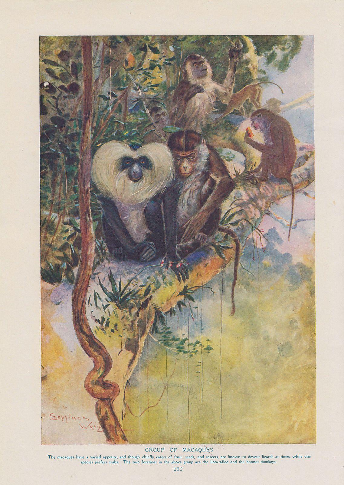 details about macaque monkeys u0026 hanuman monkeys primates wildlife