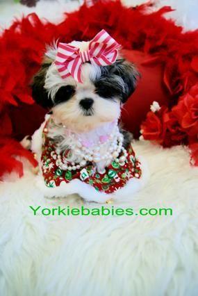 Yorkiebabies Com Elegant Shih Tzus Teacup Puppies For Sale