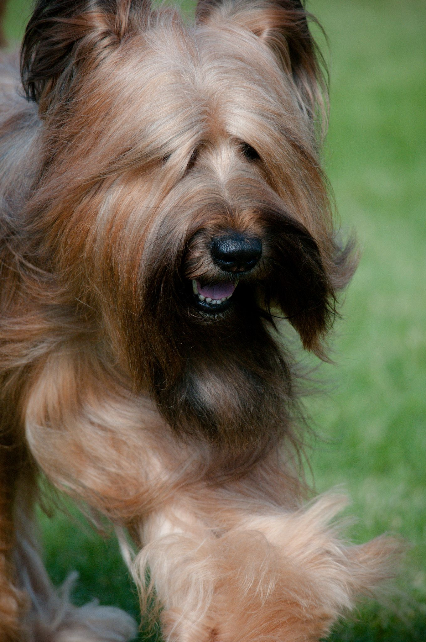 Briard Briard Showing At The 2013 Wine Country Circuit Dog Show