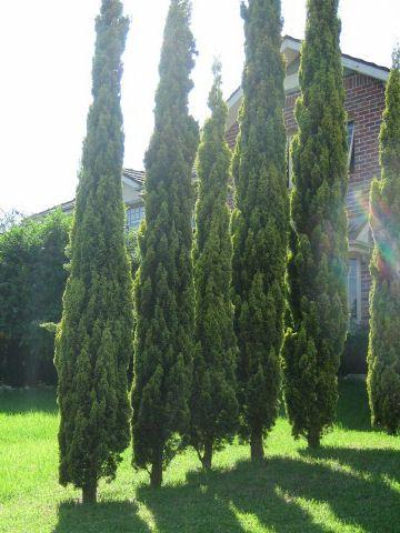width mature Juniperus sabin