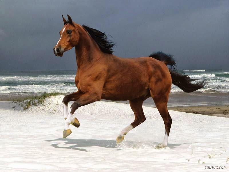 Imagenes Equinas - Caballos: Imagen de caballo al galope en la playa 16-04-2014...
