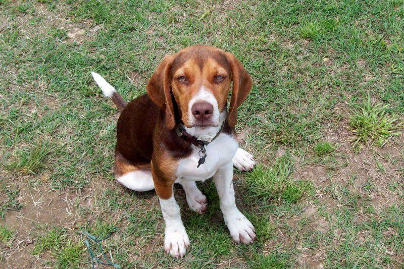 Chocolate Tri Colour Beagle Beagle Puppy