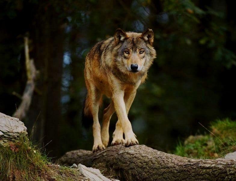 фото волка во весь рост картинки городе работают экскаваторный