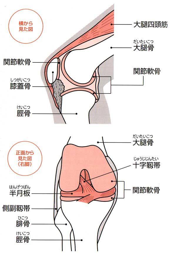 イラスト図解膝関節の構造位置名称 健康 筋肉 人体 図 人体