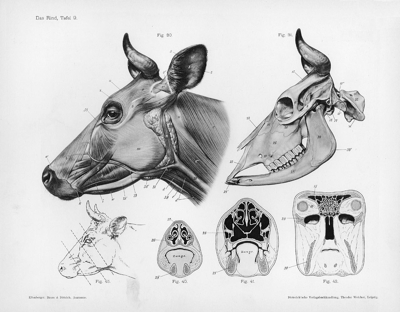 cow anatomy, from Handbuch der Anatomie der Tiere für Künstler, by ...