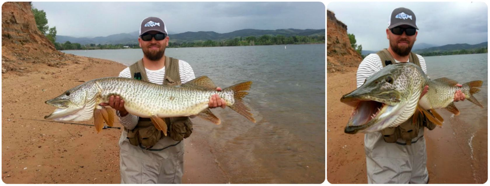 Tiger muskie in pineview reservoir fishing pinterest for Tiger muskie fishing