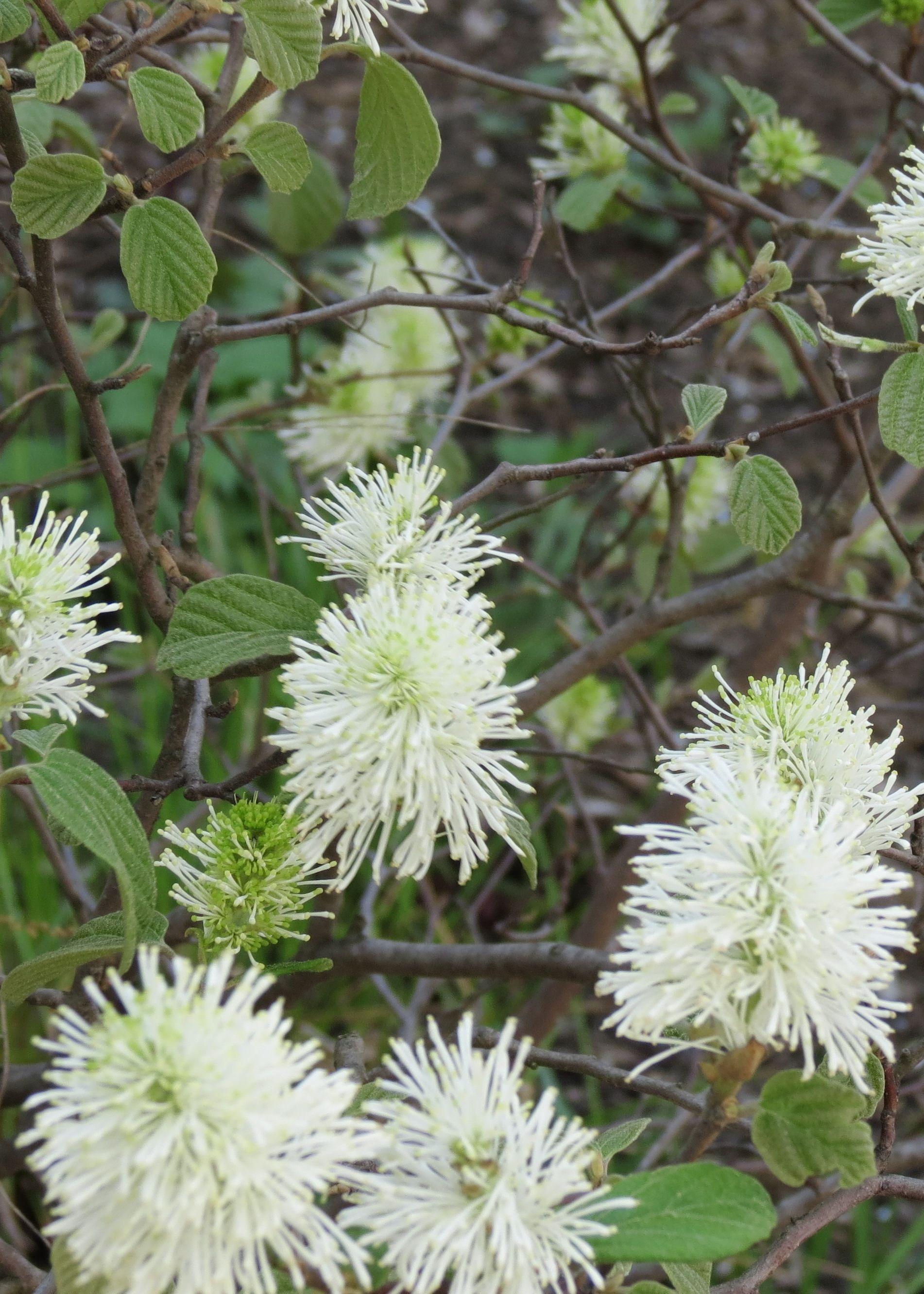 Native Medicinal Plants Part - 37: Wild Quinine, A Native American Medicinal Plant Growing Throughout North  Carolina.