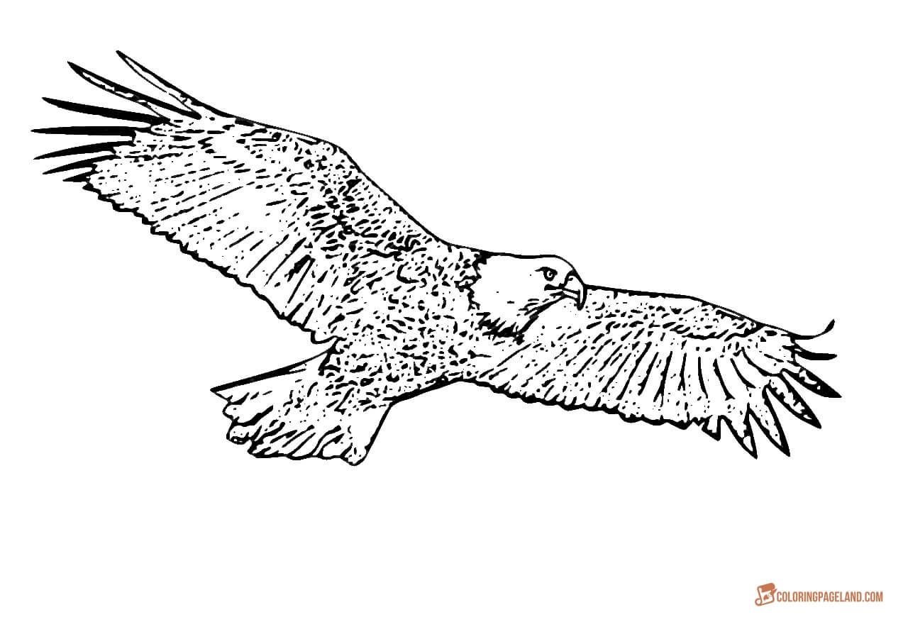 Eagle Coloring Pages Free Printable Black And White Pictures