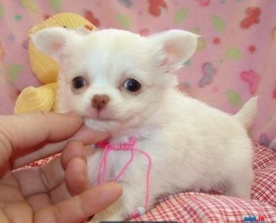 Chihuahua Puppies Darling Babies Chihuahua Puppies For Good