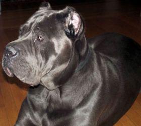 Adopt Haggar Md On Corso Dog Mastiff Dogs Cane Corso Mastiff