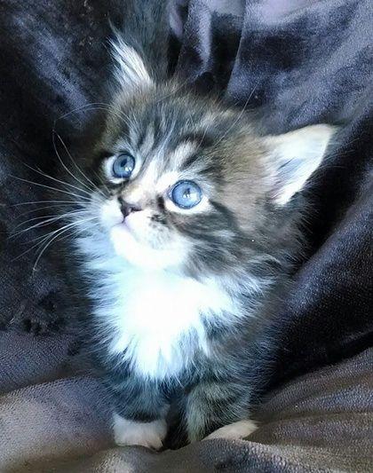 Kittens For Sale Omaha Ne Lincoln Ne Riversyde Cattery Cattery Kittens Kitten For Sale