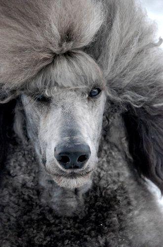 Pinafore Poodles Breeder Kennel Whisperun R Jolene Davis Usa