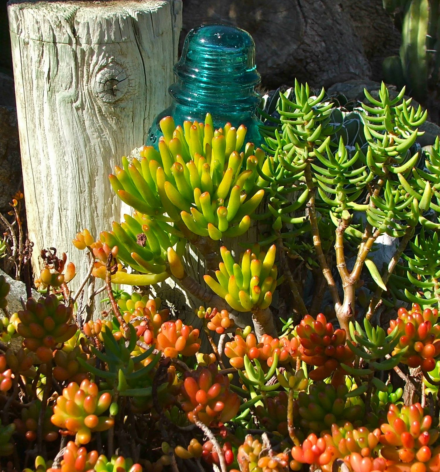 Bright Colored succulents give the illusion of coral under the sea ...
