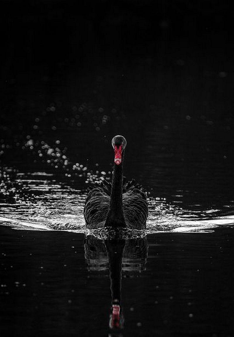 черный лебедь картинки на телефон букву несъедобных