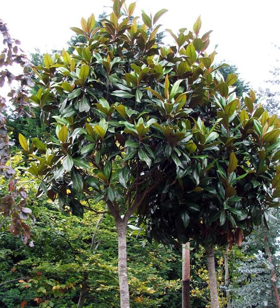 Grandiflora magnolia tree google search landscapings - Magnolia grandiflora ...