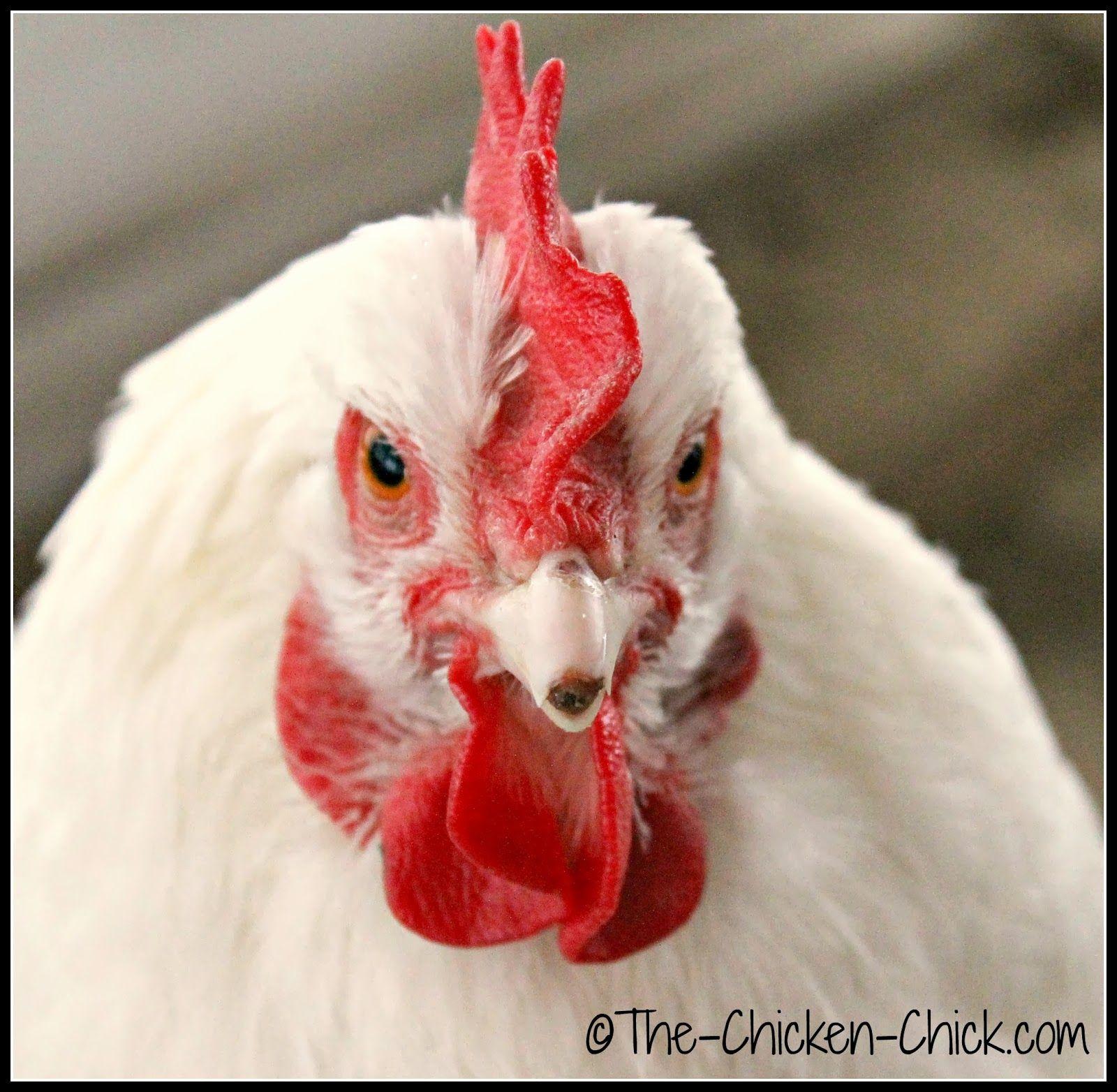 Repairing a Chicken s Broken Beak