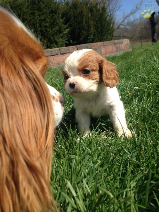 Princess Cavalier King Charles Spaniel Puppy For Sale In Fresno