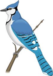 Blue Jay Blue Jay Pet Birds Bird Clipart