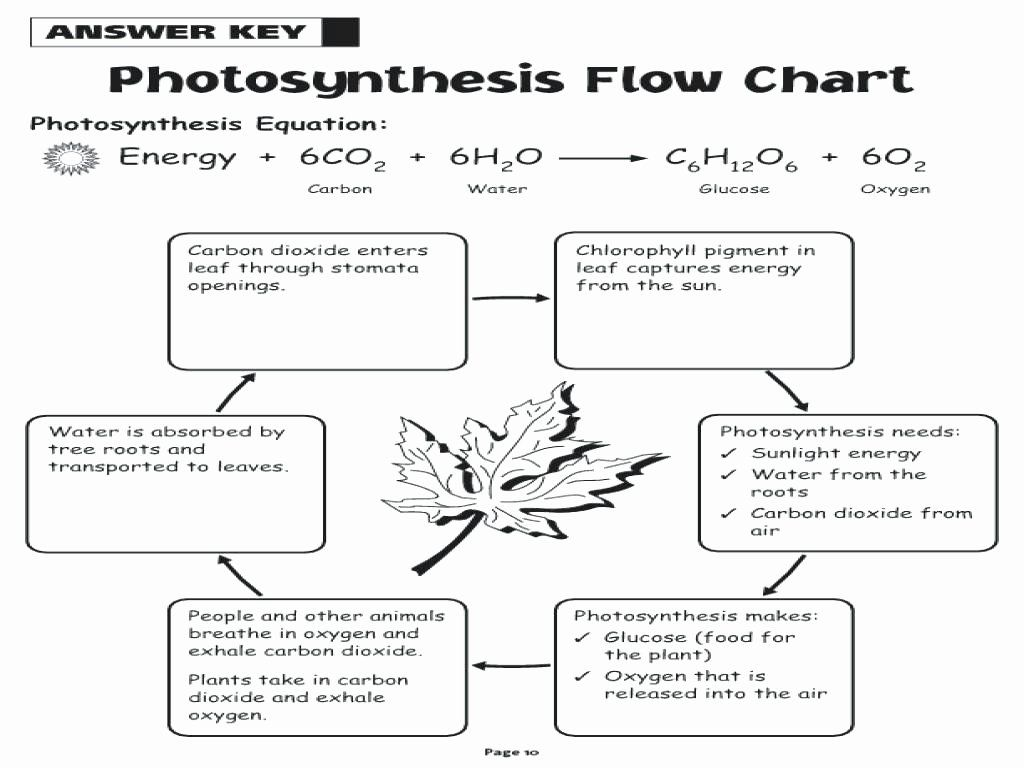 Photosynthesis Diagrams Worksheet Answers Luxury Synthesis