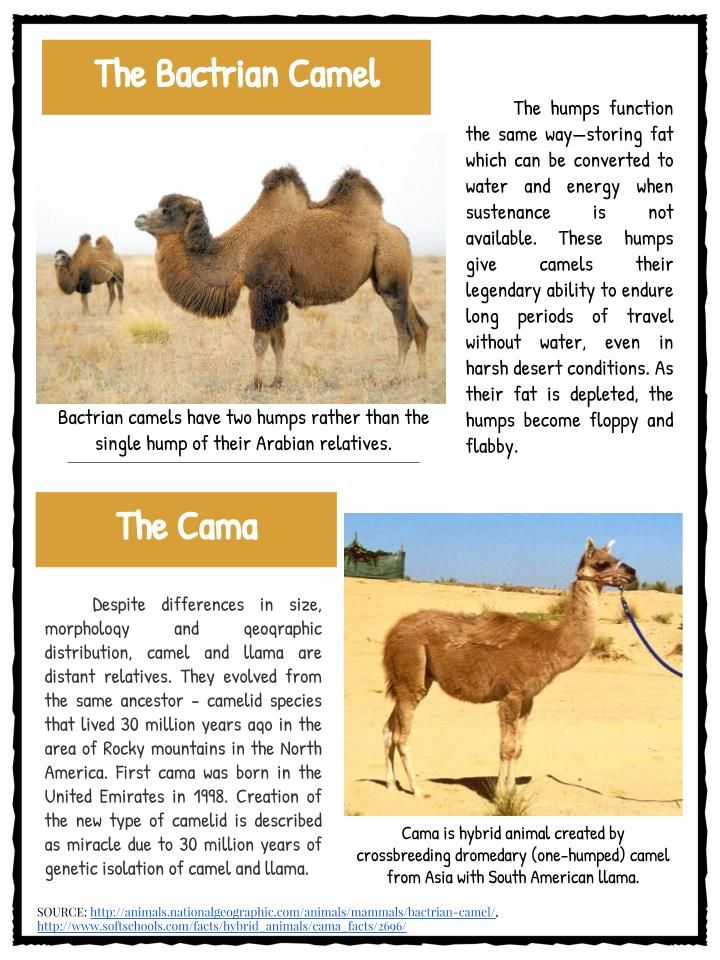 Story of the Monkey and the Camel in Hindi