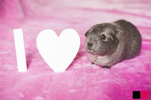 I ♥ guinea pigs
