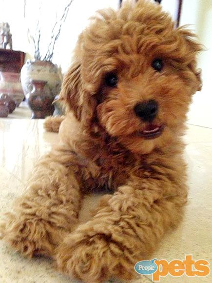 gallery of fame: 'look at me!' art work   goldendoodles - animales