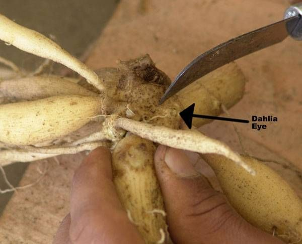 Dahlia Dividing Can Be Done In The
