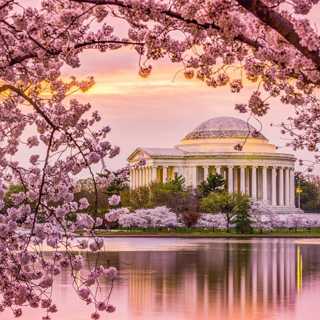 Usatoday On Instagram The Much Anticipated Projected Dates For Peak Bloom Cherry Blossom Festival Dc Cherry Blossom Pictures Cherry Blossom Washington Dc