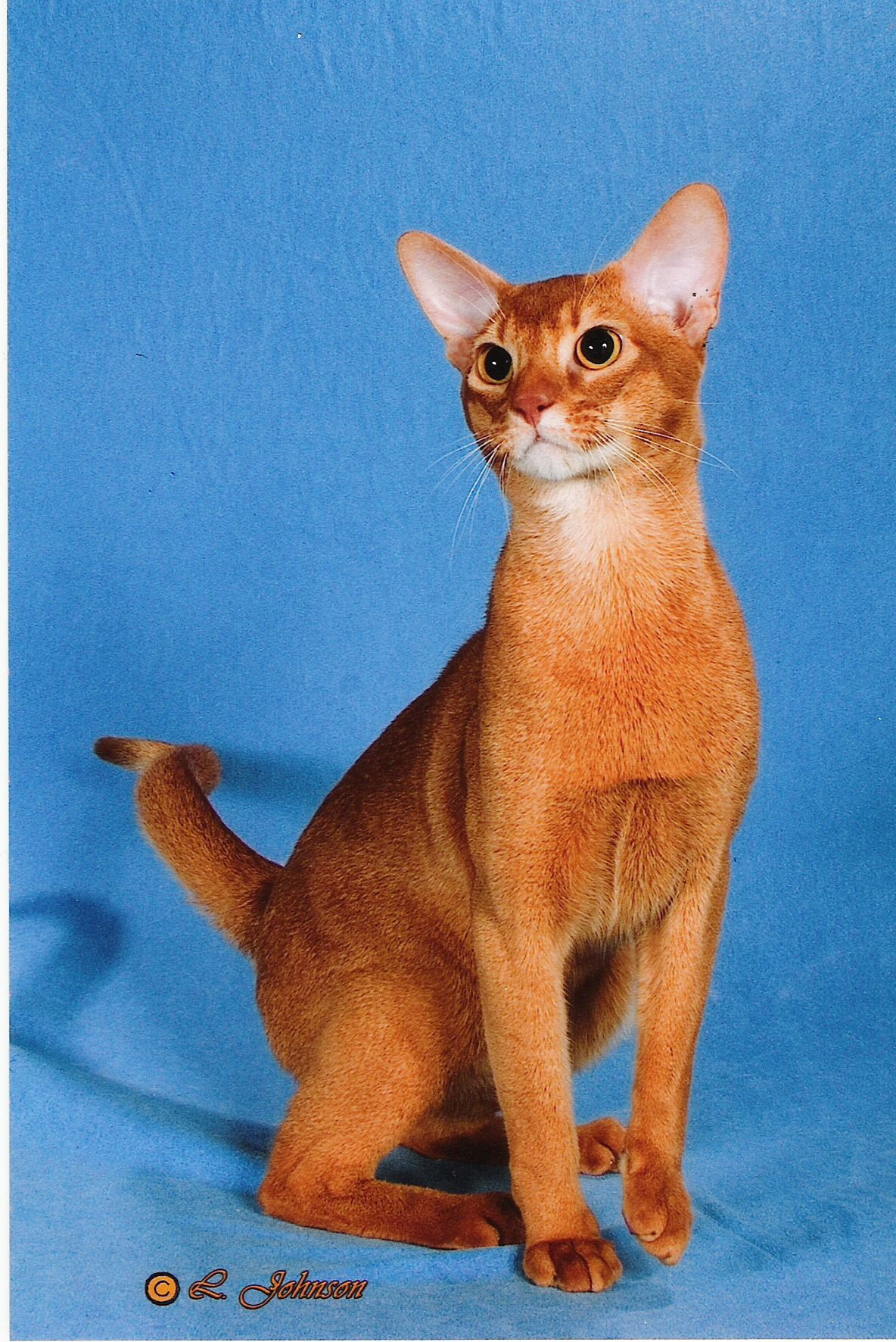 White abyssinian cat for sale