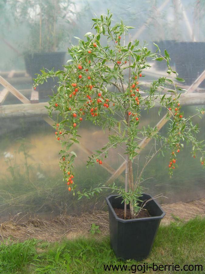 Gojiberry Voor Zonnige Tuin Met Niet Te Veel Regen Berry