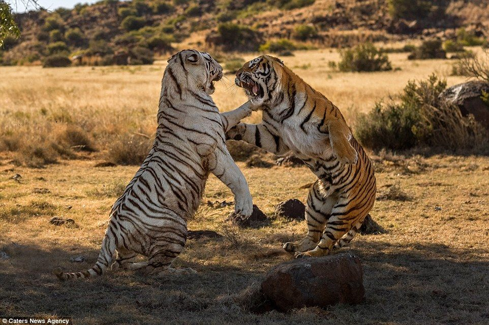 Two female tigers slash at each other in fight over