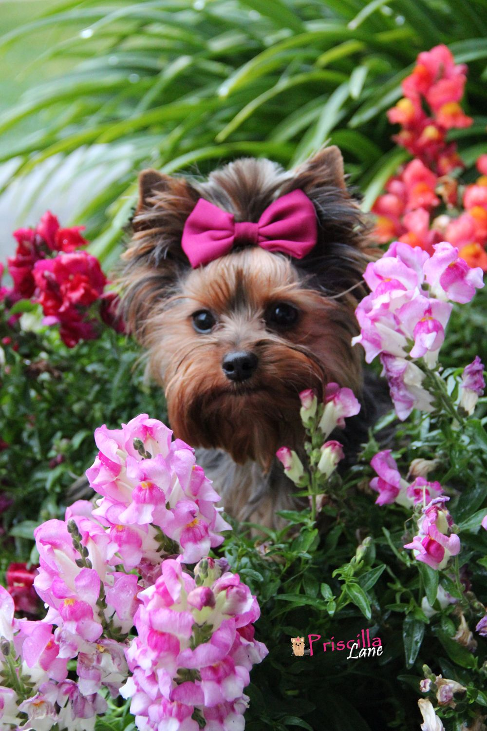 Oh My Goodness 3 Cachorros Yorkie Caes Fofos Yorkshire Terriers