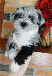 Habibi Bears Of Wa Teddy Bear Puppies Heidi Litter Teddy Bear Puppies Bear Dog Cute Dogs