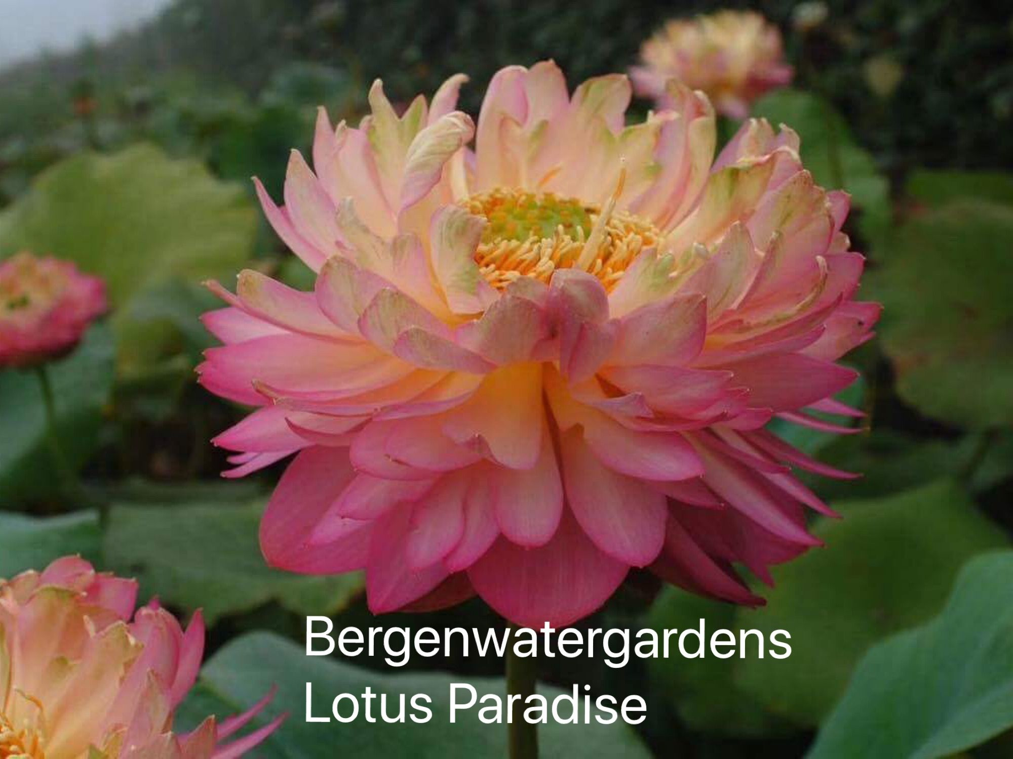 Pin by lotus paradise on lotus paradise pinterest lotus paradise chinese lotus flower tomatoes lotus flowers heaven heavens izmirmasajfo