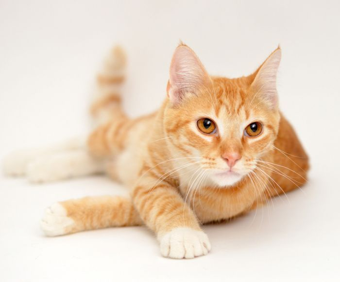 Orange Tabby Cats May Seem Fairly Common At A Glance But It Takes