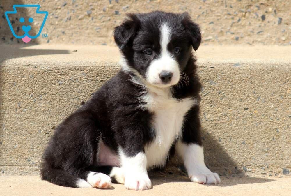 Tessa Animals Border Collie Puppies Collie Puppies For Sale