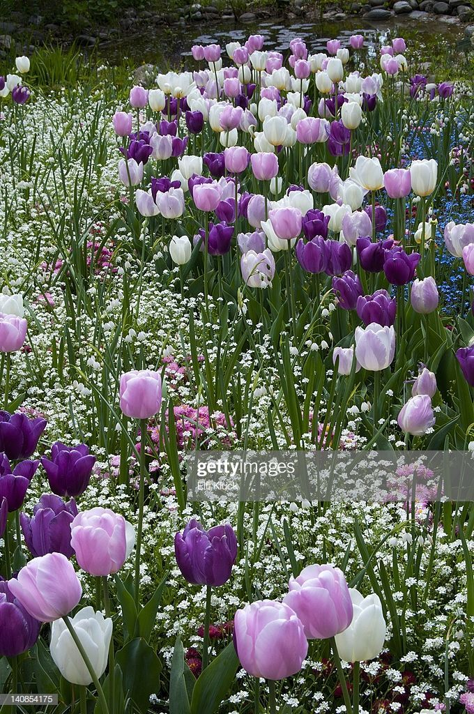Photo of White, pink and purple Tulips grace a meadow