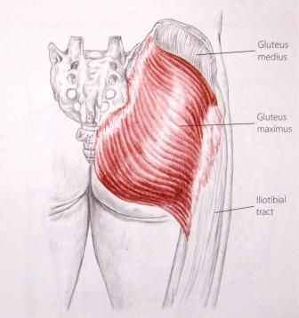 Gluteus Maximus Diagram Muscle Glutes Anatomy And Physiology