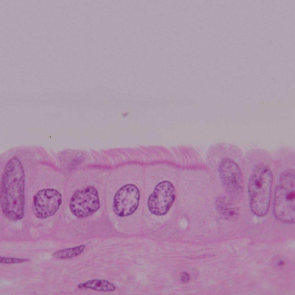 Epithelial Tissues Microscope Slides Carolina Anatomy And