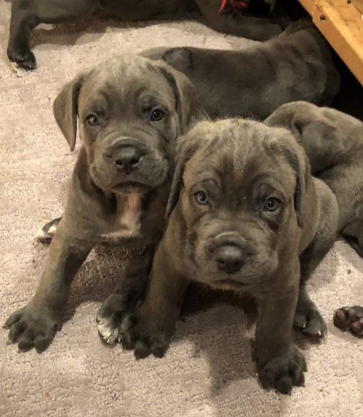 5 Males Cane Corso Cane corso puppies, Cane corso dog