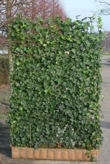 Charming Green Living Fence   Replace Privacy Wall With This!
